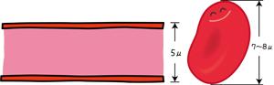 毛細血管と赤血球の大きさ