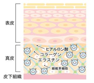 ケイ素が十分で結合組織を支える図