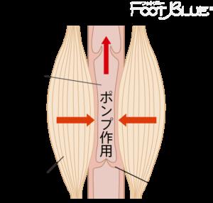 筋ポンプ作用イメージ